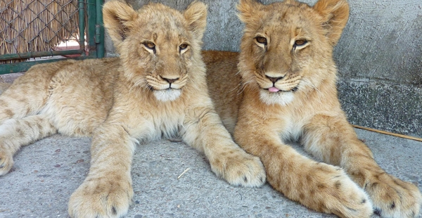 Lion Cubs at Antelope Park in Zimbabwe