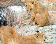 Young lions in Antelope Park in Zimbabwe