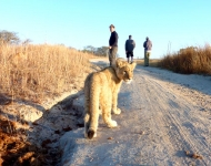 Volunteers walk down a dirt road with a lion in Antelope Park, Zimbabwe